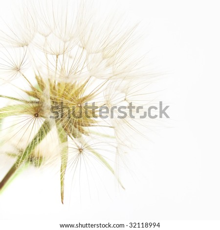 Beautiful dandelion close-up - stock photo