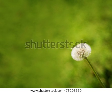 Beautiful dandelion, close up image against green background - stock photo