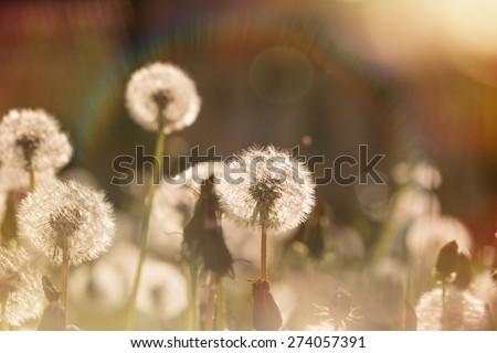 Beautiful dandelion field - dandelion seeds  - stock photo