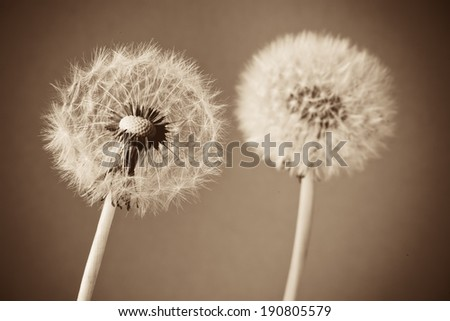 Beautiful dandelion flower close up