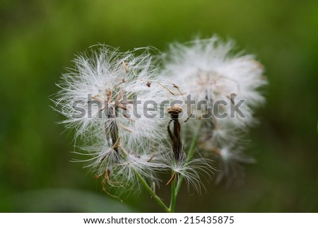 beautiful dandelion head on the spring meadow  - stock photo