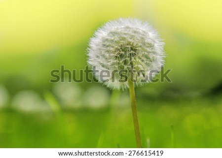 Beautiful dandelion under sunshine on the green and yellow background - stock photo