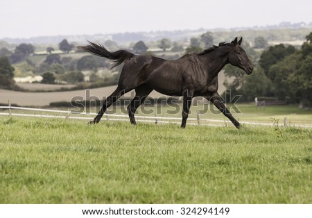 beautiful dark bay horse galloping in a field