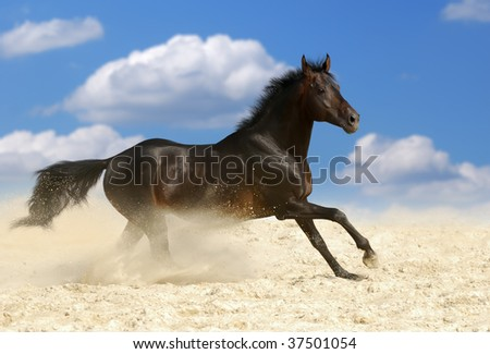 beautiful dark brown horse running gallop in dust - stock photo