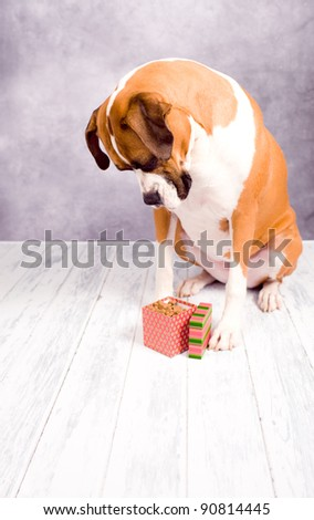 Beautiful Dark Fawn Boxer Dog with Christmas Box of Cookies - stock photo