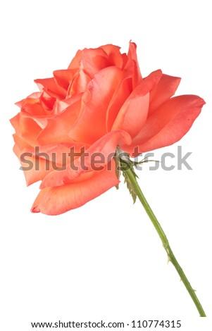 Beautiful dark orange rose isolated on white background - stock photo