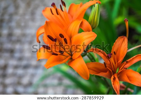 Beautiful daylily flowers blossom in the garden - a flowering plant in the genus Hemerocallis  - stock photo