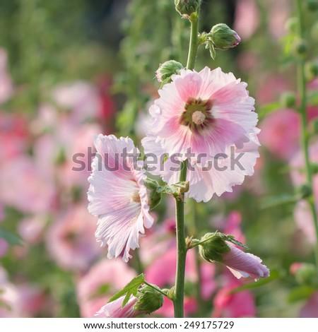 Beautiful decorating hollyhock flowers - stock photo
