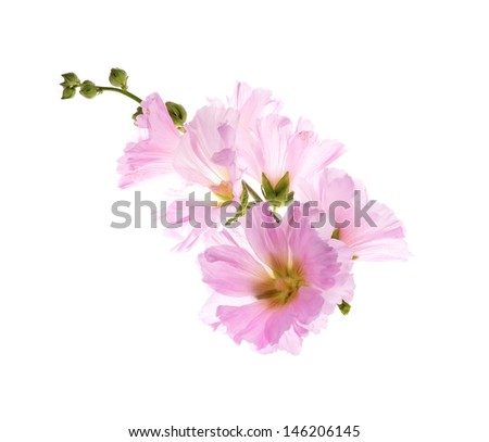 Beautiful decorating hollyhock flowers /Althaea officinalis/isolate d white background  - stock photo