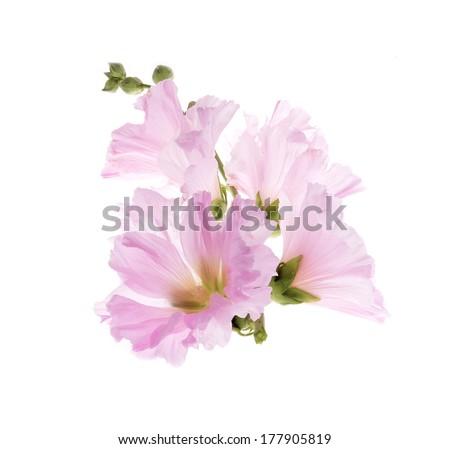 Beautiful decorating hollyhock flowers /Althaea officinalis/isolated white background  - stock photo