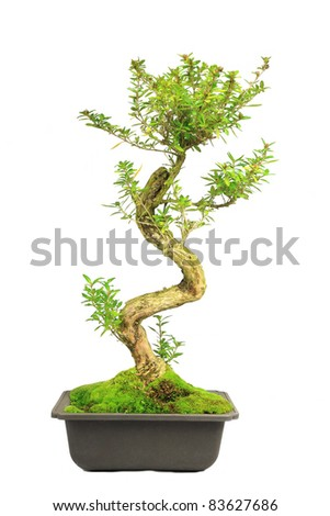 Beautiful decorative Bonsai tree on white - stock photo
