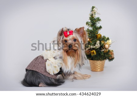 beautiful decorative dog Yorkshire Terrier in a suit sitting next to Christmas tree