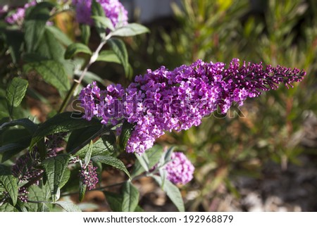 Beautiful decorative  pink flower spike of Buddleja, or Buddleia butterfly bush  a genus of over one hundred species flowering in autumn attract butterflies and bees to the garden. - stock photo