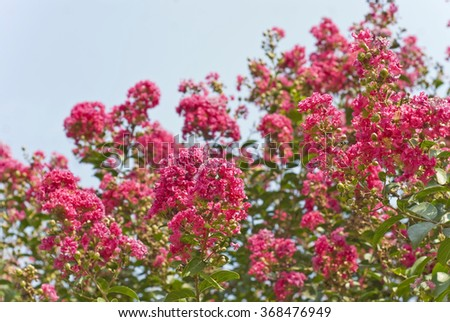 Beautiful deep pink flowers on a crape myrtle tree (Lagerstroemia)