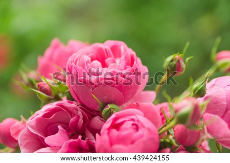Beautiful, delicate, pink roses on a green background, a beautiful background for cards, place for text, wedding card - stock photo