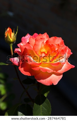 Beautiful delicate rose in back light on a dark background. Selective focus and space in the zone blurring compositions for the production of advertising and text. - stock photo
