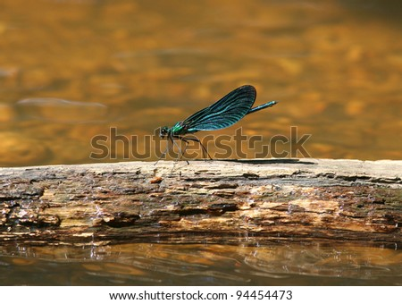 beautiful demoiselle dragonfly Calopteryx virgo - stock photo