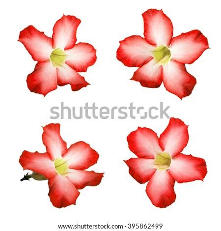 Beautiful Desert rose flowers, isolated on white background - stock photo