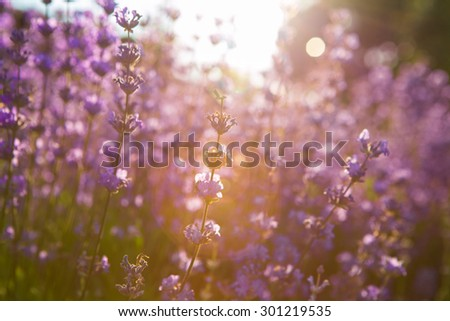 Beautiful detail of a lavender field in sunset.  - stock photo
