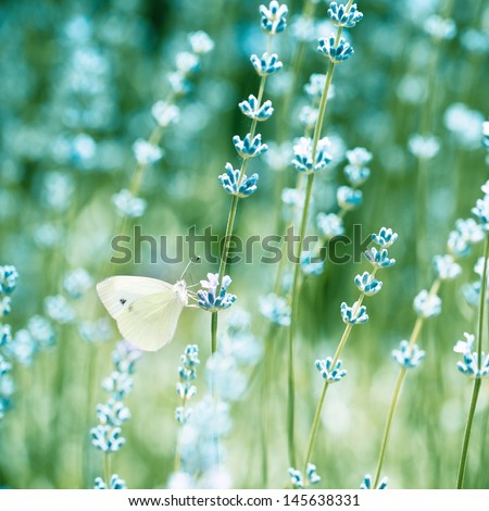 Beautiful detail of a lavender field with butterfly. Color toned image - stock photo