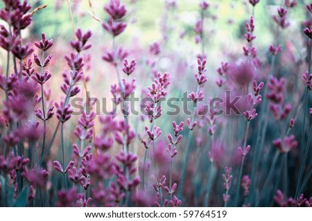 Beautiful detail of scented lavender flowers field in perfect Radiant Orchid color of the 2014. Image for agriculture, SPA, medical industries and diverse advertising materials.  - stock photo