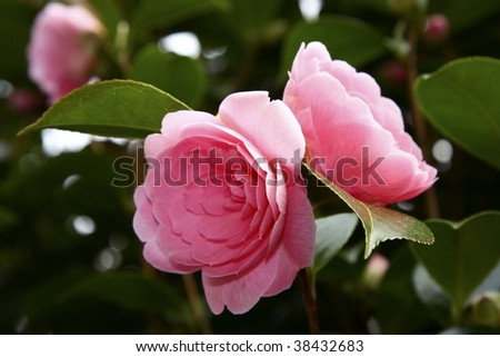 beautiful detail of the camelia flower on the bush - stock photo