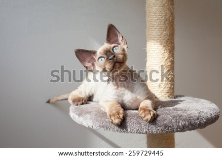 Beautiful devon rex cat sitting on the scratching post - stock photo