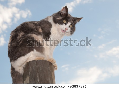 Beautiful diluted calico cat sitting on a fencepost hissing and mad - stock photo