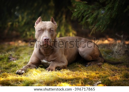 Beautiful dog American Pit Bull Terrier in nature - stock photo
