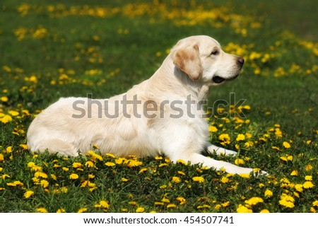 beautiful dog breed Golden Retriever lying in the summer grass with dandelions - stock photo