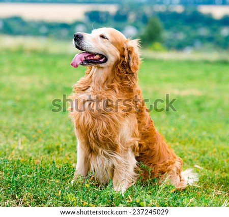 beautiful dog breed golden retriever, outdoors - stock photo