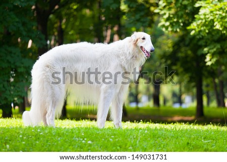 Beautiful dog breed Russian Borzoi standing on the grass lit by the sun - stock photo