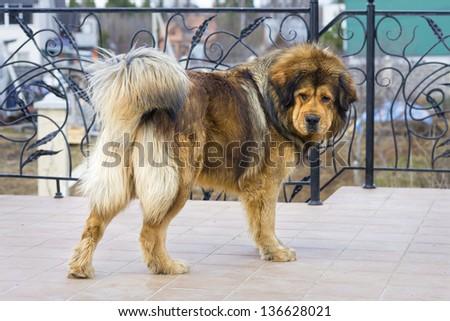 Beautiful dog breed Tibetan Mastiff. Horizontal picture - stock photo