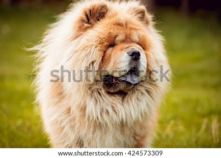 Beautiful dog chow-chow in the park. - stock photo