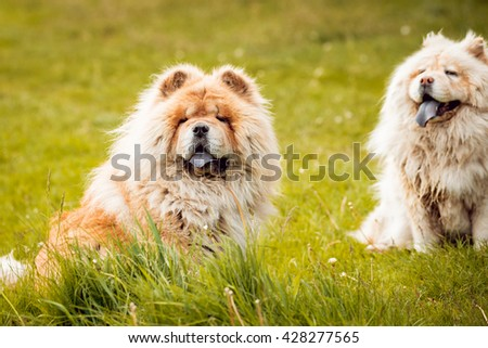 Beautiful dog chow-chow in the park.