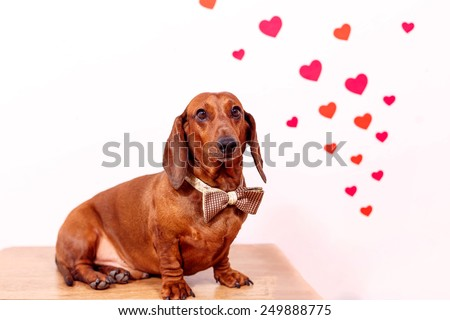 beautiful dog dachshund with hearts for Valentine's Day - stock photo