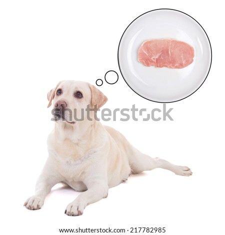 beautiful dog (golden retriever) lying and dreaming about food isolated on white background - stock photo