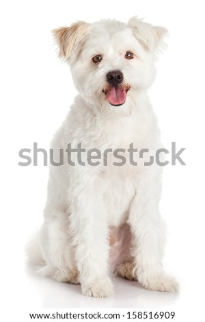 Beautiful Dog isolated on white background - stock photo
