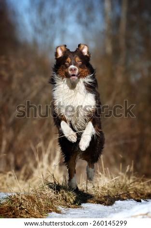 Beautiful dog jumps high - stock photo