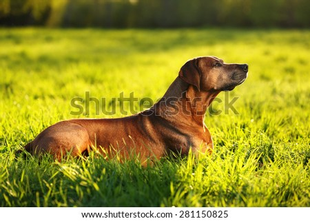 Beautiful dog lying on the grass, against backlight - stock photo