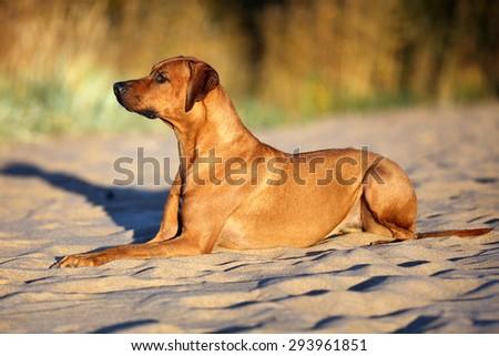 Beautiful dog lying on the sand - stock photo