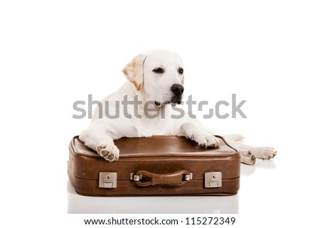 Beautiful dog of breed Labrador retriever lying over a baggage
