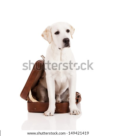 Beautiful dog of breed Labrador retriever sitting inside a open baggage - stock photo