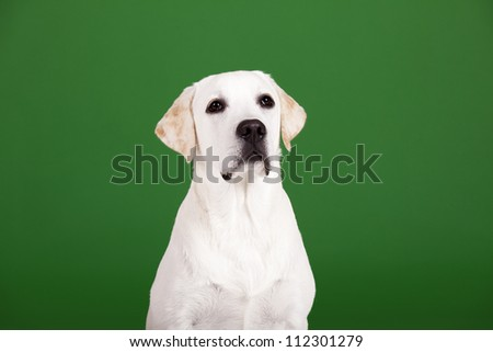 Beautiful dog of breed Labrador sitting and isolated on green