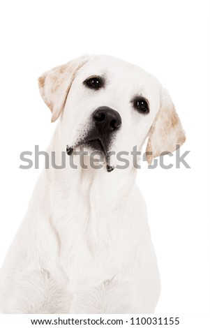 Beautiful dog of breed Labrador sitting and isolated on white - stock photo