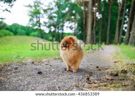 Beautiful dog outdoor. Pomeranian dog in a park. Happy dog - stock photo