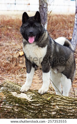 beautiful dog outdoors, Akita Inu - stock photo