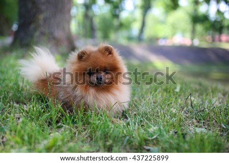 Beautiful dog. Pomeranian dog on a walk. Happy dog