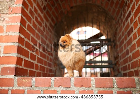 Cool Pomeranian Brown Adorable Dog - stock-photo-beautiful-dog-pomeranian-dog-outdoor-adorable-dog-436853755  Graphic_53179  .jpg