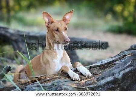 Beautiful dog portrait in nature - stock photo